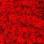 バラの本数の意味って知ってる?憧れのバラ100本の意味やプロポーズ、還暦に最適な本数は?