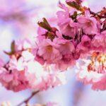 桜グッズで春を感じたい!桜モチーフがかわいい商品をご紹介